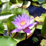 lotus_2-150x150